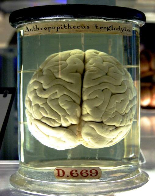 Chimp brain via wikimedia